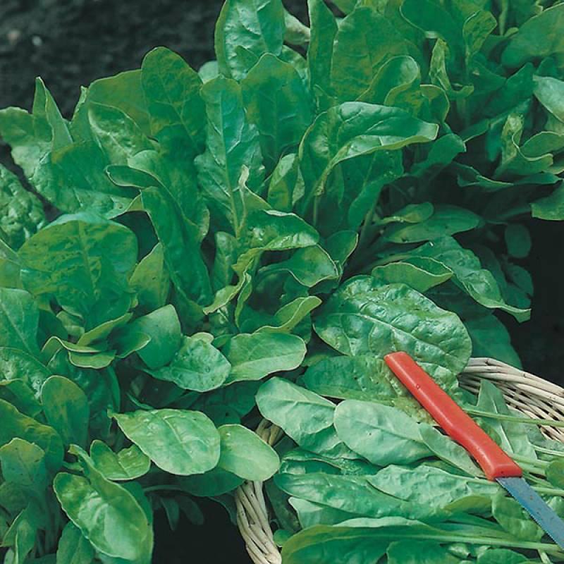 Beet Leaf Perpetual Spinach Seeds (250 Seeds)
