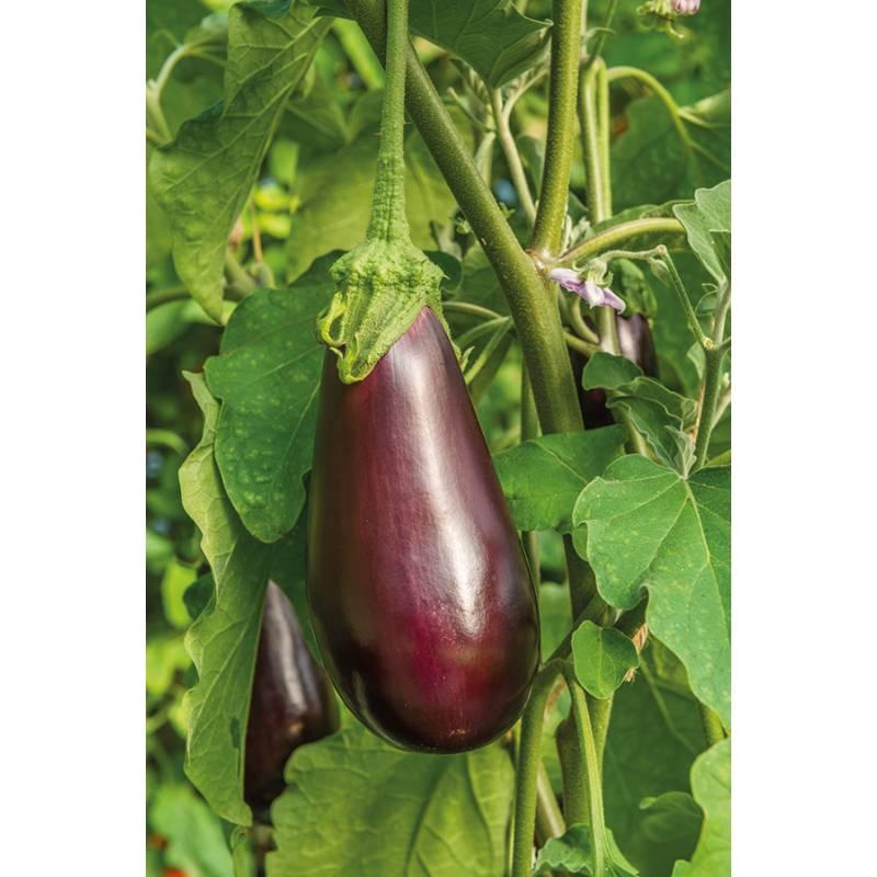 Aubergine Black Beauty Seeds (150 Seeds)