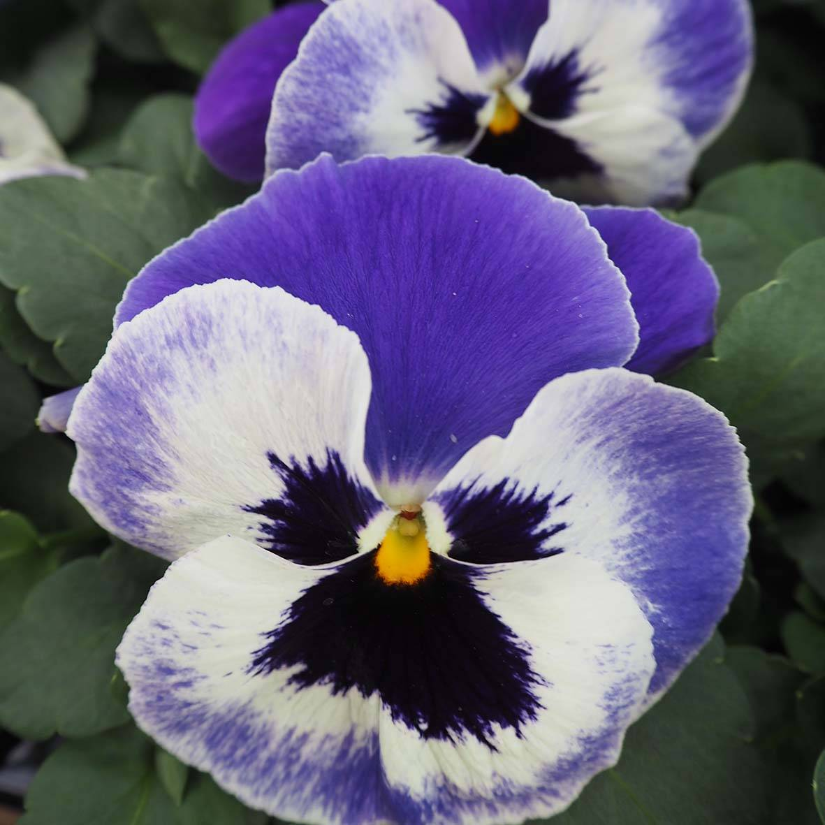 Pansy - 6 pack
